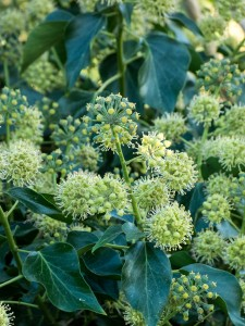The autumn insect feeding station - ivy in flower, near Dedham.
