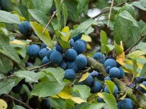 Sloes in full sun - like blueberries, Myland, Colchester.