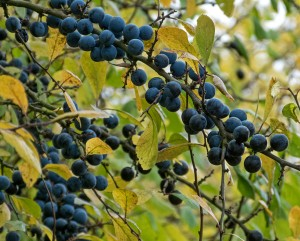Hedgerow groaning with sloes, Myland, Colchester.