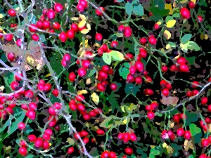 Symphony in red and green - hedgerows heavy with rose hips, Myland, Colchester.