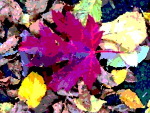 Maple leaf and autumn colours, Myland, Colchester.